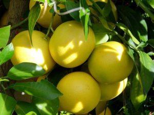 Эшколит - грейпфрут. Откуда произошло это слово
